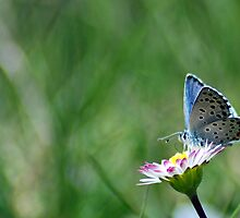 small blue butterfly by martincanale