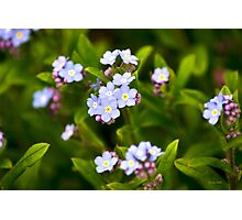 Forget Me Nots Photographic Print