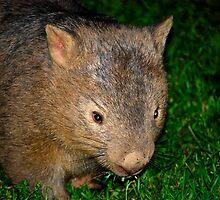Kangaroo Valley Wombat. by Warren  Patten