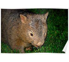 Kangaroo Valley Wombat. Poster