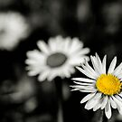 Daisy depth of field by Francesco Malpensi