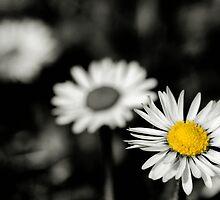 Daisy depth of field by Francesco Malpensi