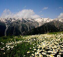 daisies on the ridge in the kackar by kirstenfairfax