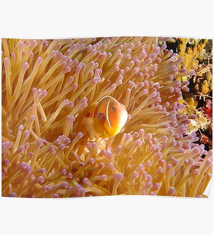 Hideaway Pink Anemonefish Poster