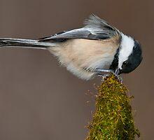 Black-Capped Chickadee by (Tallow) Dave  Van de Laar