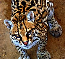 Miss Ocelot  by Judy Grant