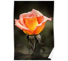 Rose Orange Poster