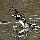 Wood Duck Splash Down by Chuck Gardner
