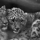 Snow Leopards by Elaine123