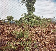 vines reaching skyward from a fence by kevin seraphin