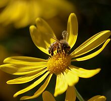 """Buzzed Daisy"" by Maureen Clark"