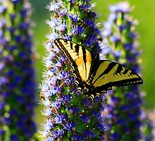Tiger Swallowtail Butterfly by Doug Dailey