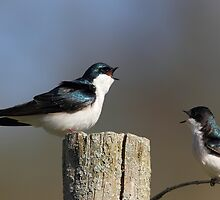 Tree Swallows by Rob Lavoie