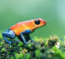 Strawberry Poison Dart Frog by Robbie Labanowski