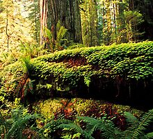 REDWOOD by Chuck Wickham