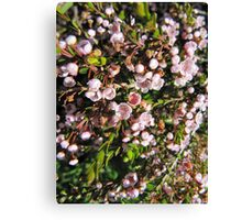 Pink Thryptomine, Spring flowers. Canvas Print