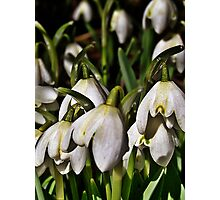 Countryside Snowdrops Photographic Print