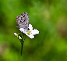 Spring Butterfly by Christina Rollo