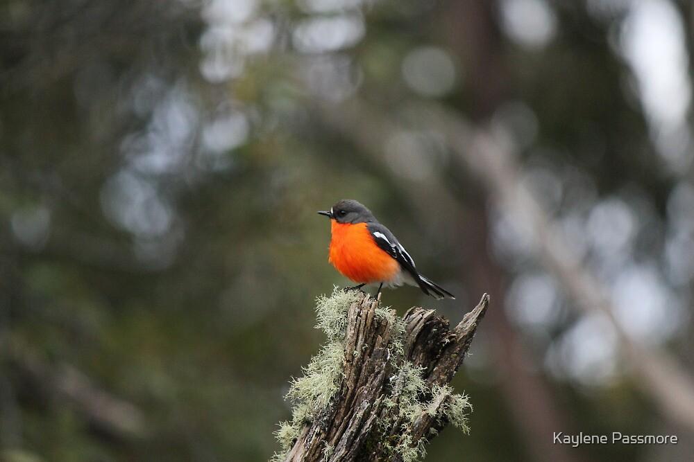 Male Flame Robin on Guard Duty! by Kaylene Passmore