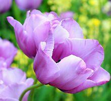 May tulips by Malgorzata Larys
