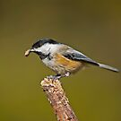 Hungry Chickadee by Daniel  Parent