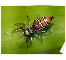 Rainbow Jumping Spider - Mackay Poster