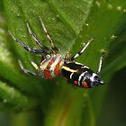Rainbow Jumping Spider - Mackay Botanical Gardens by aussiecreatures