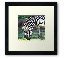 Zebra's  Framed Print