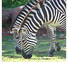 Zebra's  Photographic Print