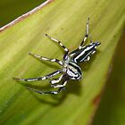 Metallic Green Jumping Spider - Mackay Botanical Gardens by aussiecreatures