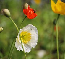 Poppies and the Bee by StefanieT