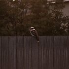 Kookaburra on fence by Khrome Photography