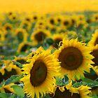 Sunflower Fields by Katie WIsniewski