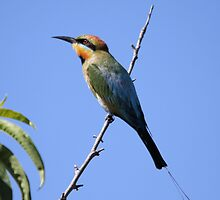 Look To The Sky ... Rainbow Bee-eater by mosaicavenues