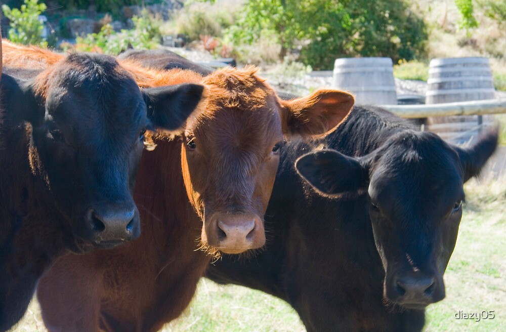 Yileena Park Cattle by Di Jenkins