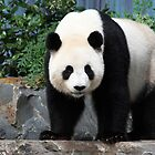 Giant Pandas by Joanne Emery