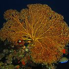 Hideaway Fan Coral by Matt-Dowse