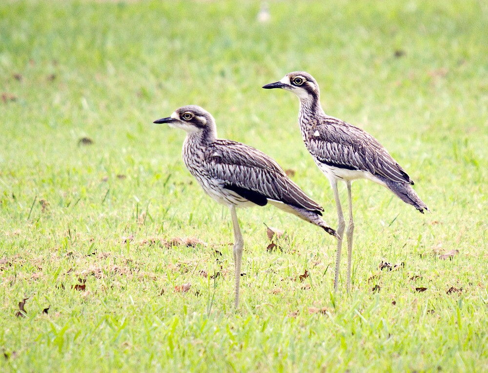 Stand Tall - curlews by Jenny Dean