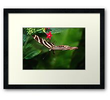 In Balance Zebra Longwing - Heliconius charithonia Framed Print