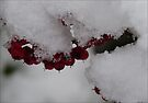 Snowberries by Photos - Pauline Wherrell
