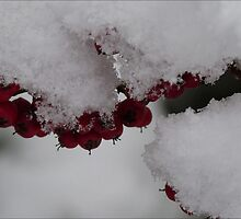Snowberries by Photos - Pauline Wherrell
