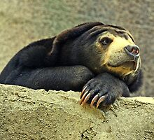 """""""The Malayan Sun Bear..."""" by Rosehaven"""