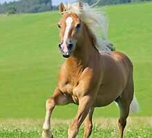 Haflinger horse stallion by Manfred Grebler