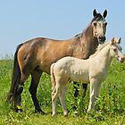 Connemara pony mare with foal by Manfred Grebler