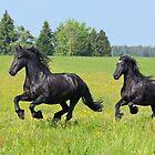 Friesian horses by Manfred Grebler