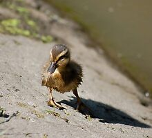 Baby Duck - By The Pond by Oliver Martin