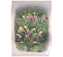 Iconagraphy of Orchids Iconographie des Orchidées Jean Jules Linden V4 1888 0163 Poster