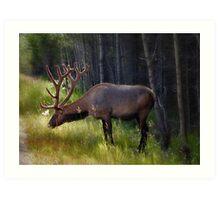 Alberta Elk  Art Print