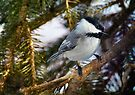 Winter Chickadee by Elaine  Manley