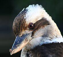 Kookaburra by Peter Pevy